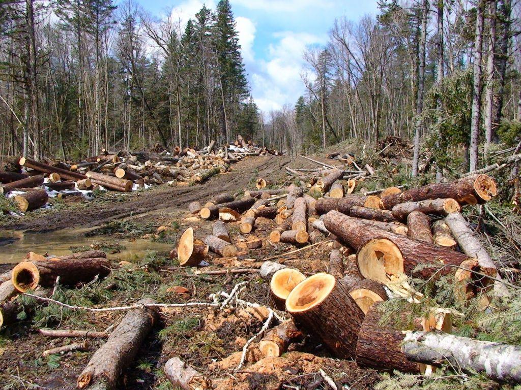 картинки рубленных деревьев каннах длинные
