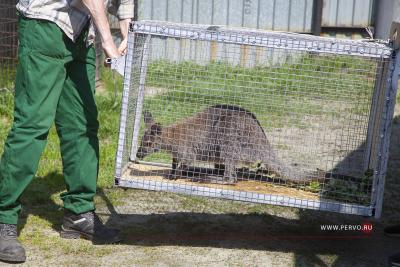 В зоопарке Первоуральска поселилась кенгуру Зефирка